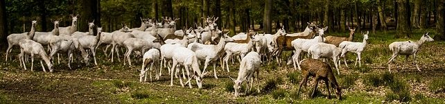 Bílí jeleni – White Deer, (video)